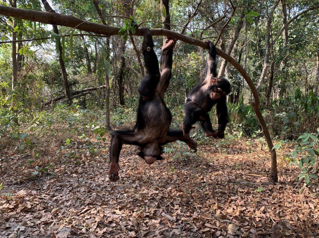 Spelende chimpansees die in het Haut National Park in Guinee dagelijks het bos in gaan.