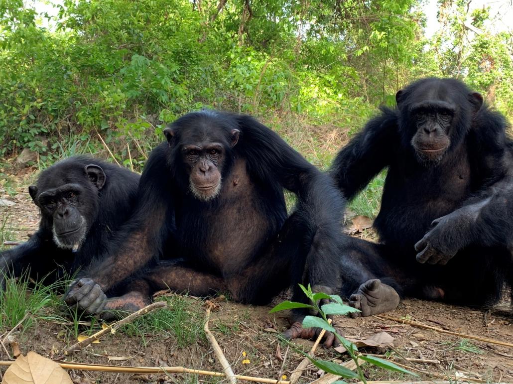 Telefoon. Drie volwassen chimpansees.